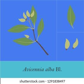 Avicennia alba, Avicennia officinalis, Avicennia lanata - Mangrove Plant Arts