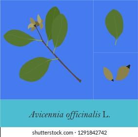 Avicennia officinalis, Avicennia alba, Avicennia lanata - Mangrove Plant Art