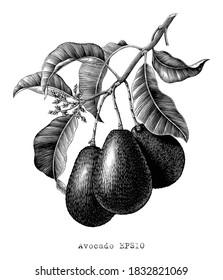 Avocado branch botanical illustration vintage engraving style black and white clip art isolated on white background