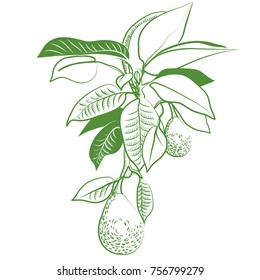 avocado grows on tree in leaf, hangs, avocado, fruit, grows on tree, delicious, avocado in leaf, green, graphic, picture, vector
