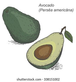 Avocado sketch. Vector illustration in in woodcut style. Hand-drawn sketch.Engrave.