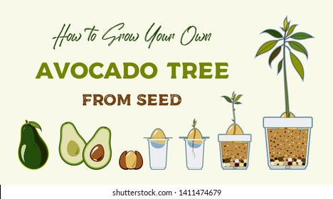 Avocado tree vector growing guide poster. Green simple instruction how to grow avocado tree from seed. Vector life cycle of avocado growth on a white background. Avocado fruit, seed, sprout and tree.