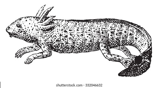 Axolotl, vintage engraved illustration. Dictionary of words and things - Larive and Fleury - 1895.