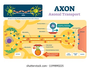 Axon vector illustration. Labeled diagram with explanation and structure. Closeup with cell body, terminal, synaptic cleft and dendrite. Nerve cell projection or neuron.