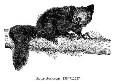 Aye Aye is a lemur and a strepsirrhine primate native to Madagascar, vintage line drawing or engraving illustration.