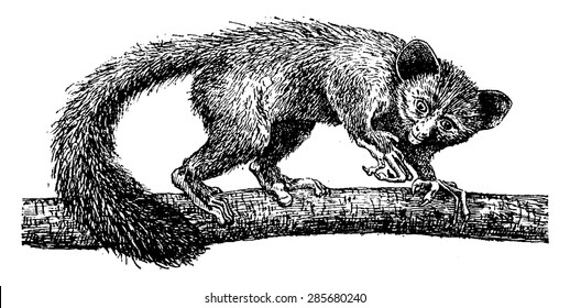 Aye-aye or daubentonia madagascariensis, vintage engraved illustration. Natural History of Animals, 1880.