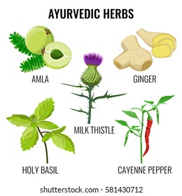 Ayurvedic herbs collection on white. Vector poster of holy basil, cayenne pepper, milk thistle, ginger root and round amla colourful signs. Collection of ayurvedic plants with fruits in flat design