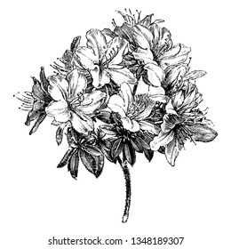 Azalea Ledifolia is a genus of Rhododendron. It is evergreen shrub, with thick, dark-green leaves and clusters of white flowers in summer, vintage line drawing or engraving illustration.