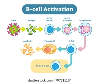 B cells, also known as B lymphocytes, are a type of white blood cell of the lymphocyte subtype. They function in the humoral immunity component of the adaptive immune system by secreting antibodies.