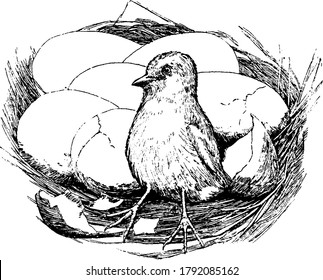 A baby chick hatched outside of the eggs and few egg shells cracked and eggs lying closer, vintage line drawing or engraving illustration