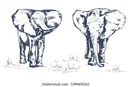 Baby elephan, set. African elephant. Hand drawn illustration in sketch style. Vintage hand drawn vector illustration isolated on white background
