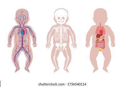 Baby skeleton, internal organs, circulatory system anatomy. Anatomical structure of human newborn child body front view. Vector isolated flat illustration of skull and bones, blood vessels in body.