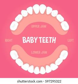Baby teeth  anatomy concept infographic element. Vector illustration.