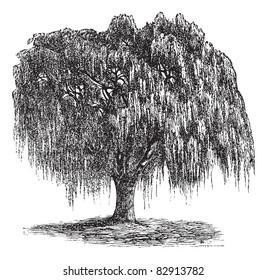 Babylon Willow or Salix babylonica or Peking Willow or Weeping willow, vintage engraving. Old engraved illustration of Babylon Willow tree. Trousset encyclopedia (1886 - 1891).