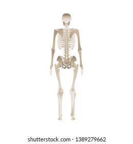 54a40506b Back of the human skeleton - body anatomy from different point of view,  bones reference