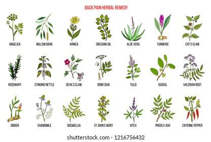 Back pain herbal remedy. Hand drawn vector set of medicinal plants