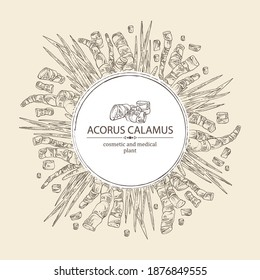 Background with acorus calamus: plant, leaves and root of acorus calamus. Cosmetics and medical plant. Vector hand drawn illustration.