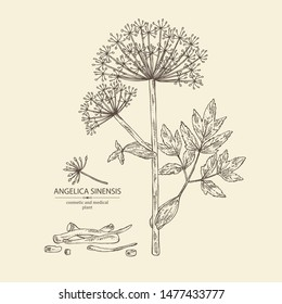 Background with angelica sinensis: angelica root and plant. Cosmetic and medical plant. Vector hand drawn illustration.