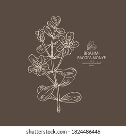 Background with brahmi: brahmi flower, plant and leaves. Bacopa Monier. Indian pennywort. Cosmetic and medical plant. Vector hand drawn illustration