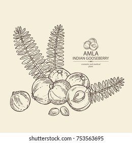 Background with branch of indian gooseberry, amla: berries and lesves of amla. Cosmetics and medical plant. Vector hand drawn illustration