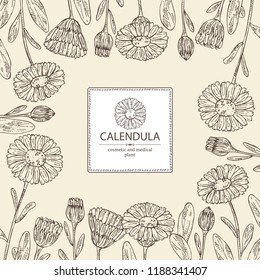Background with calendula: calendula plant, leaves and calendula bud and flowers. Cosmetics and medical plant. Vector hand drawn ill