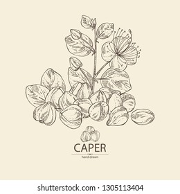 Background with caper: caper bud and flower. Vector hand drawn illustration.