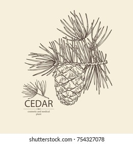 Background with cedar: branch of cedar with cedar cone. Cosmetics and medical plant. Vector hand drawn illustration.