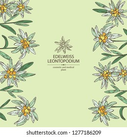 Background with edelweiss: edelweiss flowers and leaves. Leontopodium. Cosmetic and medical plant. Vector hand drawn illustration