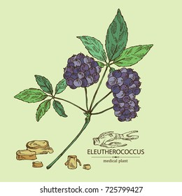 Background with eleutherococcus: branch of eleutherococcus, berries and eleutherococcus root. Siberian ginseng. Cosmetic and medical plant. Vector hand drawn illustration.