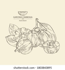 Background with garcinia cambogia: garcinia fruts and leaves. Super food. Vector hand drawn illustration.