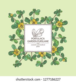 Background with garden purslane: purslane flowering branch and leaves. Portulaca. Cosmetic and medical plant. Vector hand drawn illustration