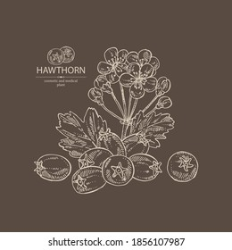 Background with hawthorn: hawthorn branch with flowers, leaves and berries. Crataegus berries. Cosmetics and medical plant. Vector hand drawn illustration.