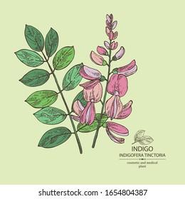 Background Indigofera tinctoria: plant, flowers and leaves of indigo.Cosmetic and medical plant. Vector hand drawn illustration.