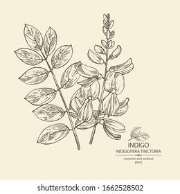 Background Indigofera tinctoria: plant, flowers and leaves of indigo. Cosmetic and medical plant. Vector hand drawn illustration.