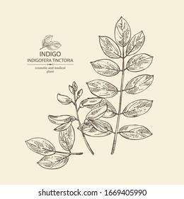Background Indigofera tinctoria: plant and leaves of indigo. Cosmetic and medical plant. Vector hand drawn illustration.