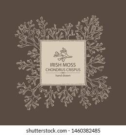 Background with irish moss: irish moss seaweed. Edible seaweed. Vector hand drawn illustration.