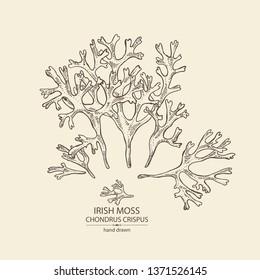 Background with irish moss: irish moss seaweed. Red edible seaweed. Vector hand drawn illustration.
