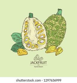Background with jackfruit: fruit and jackfruit slice. Vector hand drawn illustration