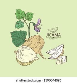 Background with jicama: tuber of jicama, leaves, flower and slice. Pachyrhizus erosus. Vector hand drawn illustration.
