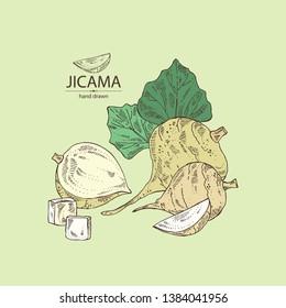 Background with jicama: tuber of jicama, leaves and slice. Pachyrhizus erosus.  Vector hand drawn illustration.