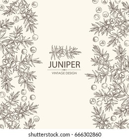 Background with juniper: berries juniper and a branch. Cosmetic, perfumery and medical plant. Vector hand drawn illustration