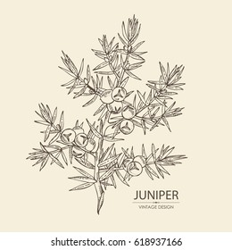 Background with juniper: berries juniper and a branch. Cosmetics and medical plant. hand drawn?