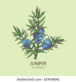 Background with juniper: berries juniper and a branch. Cosmetics and medical plant. hand drawn