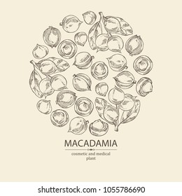 Background with macadamia: branch, leaves and macadamia nuts. Cosmetic and medical plant. Vector hand drawn illustration.