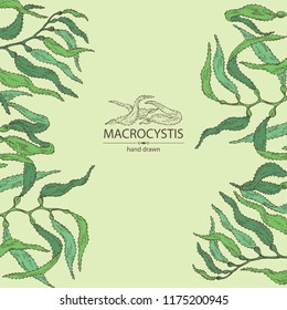 Background with macrocystis: macrocystis seaweed, leaves. Brown algae. Edible seaweed. Vector hand drawn illustration.