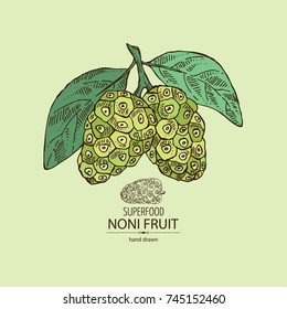 Background with background with morinda, noni fruit: branch with noni fruit. Super food. Vector hand drawn illustration.