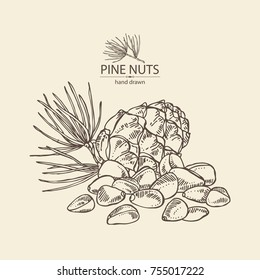 Background with pine nuts: pine nuts and cedar cone. Cosmetics and medical plant. Vector hand drawn illustration.