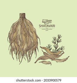 Background with shatavari: shatavari root, plant and leaves. Protasparagus racemosus. Cosmetic and medical plant. Vector hand drawn illustration