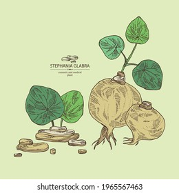 Background with stephania glabra: stephanie smooth  plant and stephanie smooth tuber. Cosmetic and medical plant. Vector hand drawn illustration
