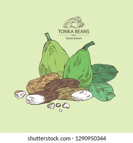 Background with tonka beans: tonka fruit, beans and leaves. Dipteryx odorata. Cosmetic, perfumery and medical plant. Vector hand drawn illustration